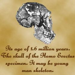 The Skull Of Homo Erectus Java Man